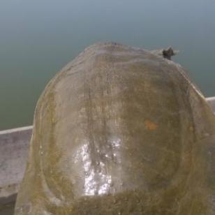 重庆甲鱼养殖场中华鳖生态甲鱼批发图片