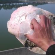 湖南鲜活水产甲鱼批发市场供应甲鱼图片