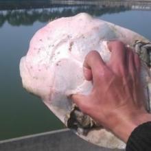 供应用于食用的湖南鲜活水产甲鱼批发市场供应甲鱼/甲鱼养殖场大量批发中华鳖