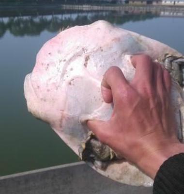 外塘甲鱼图片/外塘甲鱼样板图 (3)