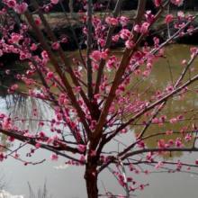 供应骨里红红梅批发上海,朱砂梅,绿梅,腊梅图片