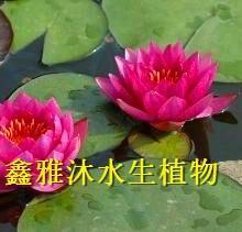 供应长治精品睡莲种植,厂家种植芦苇,香蒲,荷花,王莲,水葱,菖蒲等水生植物批发