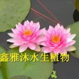 供应唐山盆栽睡莲批发公司,安新县鑫雅沐水生植物种植公司