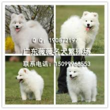 供应萨摩犬纯种萨摩耶售价图片