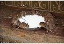 供应呈贡县新册片区养殖场灭鼠价格-呈贡县新册片区养殖场灭鼠公司