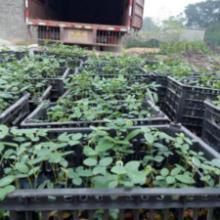 云南山豆根苗种植基地,云南专业培育山豆根苗基地,云南优质山豆根苗批发批发