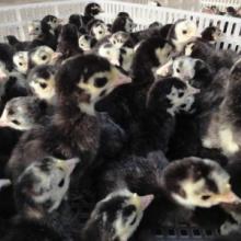 供应火鸡 火鸡苗养殖 火鸡苗价格 优质火鸡苗