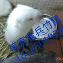 供应广东省茂名市信宜市竹鼠养殖场竹鼠