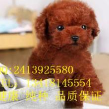供应泰迪熊广州泰迪熊犬 广州纯种泰迪熊犬茶杯犬,卷毛泰迪熊
