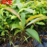 供应广州龙洞灰木莲30公分起 优惠批发出售灰木莲等造林苗 灰木莲市场报价