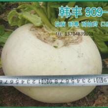 供应盛-奇韩丰909萝卜种子基地专用