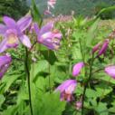 供应用于基地栽培用种的神农架紫花大块茎白芨