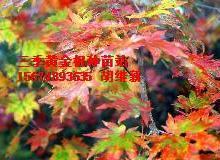 供应用于红枫紫枫十季的红枫紫枫十季红枫黄金枫三季黄金枫