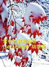 供应红枫奥廖尔州红枫,奥廖尔市红枫、博尔霍夫市红枫三季红枫三季红种子