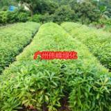 广东木荷袋苗价格|优质木荷袋苗苗圃直销|园林防火林种|防火树木荷袋苗供应商