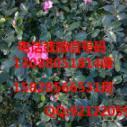 茶梅妐图片