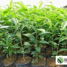 供应用于绿化的广西沉香树苗价格苗农在线批发
