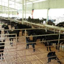 防城港努比亚山羊,优质广西努比亚黑山羊市场价格情况广西努比亚黑山羊傸