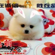 博美犬舍提供专业权威的纯种博美犬图片
