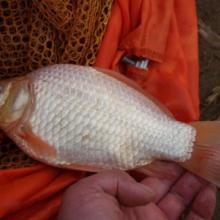 供应用于垂钓|养殖|鱼苗的北京鲫鱼黄金鲫鱼批发供应优惠促销