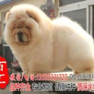 广州哪里有卖纯种松狮幼犬图片