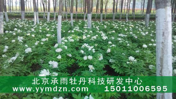 检测用于油种苗苗的油用牡丹牡丹首选北京承雨提供金属材料供应图片