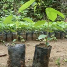 供应檀香紫檀种植