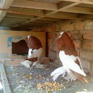 海南观赏鸽球胸鸽毛领鸽凤尾鸽素女图片